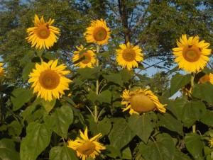 sunflower_mammothrussian