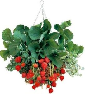 strawberries-in-hanging-basket