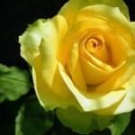 st-patrick-rose-ron-javorsky